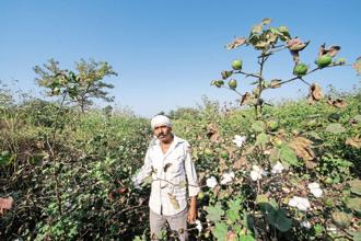 For cotton, MSP has been fixed at Rs4,020 per quintal, a 4.2% increase over 2016. It  costs farmers Rs4,376 to grow a quintal, which means a loss of 8%. Photo: Aniruddha Chowdhury/ Mint