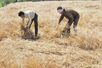 Farmers tilling up to 5 acres of land will get waivers of up to Rs2 lakh, while other marginal farmers will get a flat Rs2 lakh waiver. Photo: HT