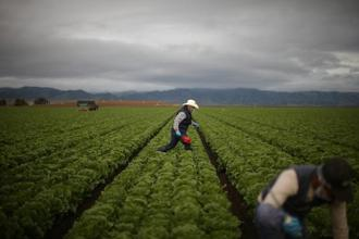 GE crops are more likely to mitigate risks from weeds and insects, says a recent paper. Photo: Lucy Nicholson/Reuters