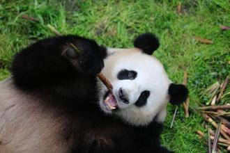 China has introduced programmes to convert farmlands back to forests, in a step towards the conservation of Pandas. Photo: AFP