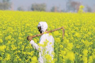 India's regulator for GM products—the Genetic Engineering Appraisal Committee (GEAC)—on 11 May recommended approval for commercial production of GM mustard, developed by the Delhi University-based Centre for Genetic Manipulation of Crop Plants. Photo: HT