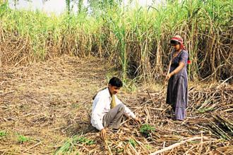 Currently, sugar cane is grown over 9.42 lakh hectares in Maharashtra (2017-18) and only 2.25 lakh hectares is covered by drip irrigation. Photo: Mint