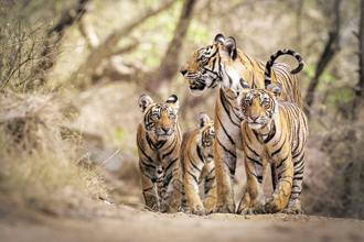 There are about 800 homeless tigers in India, according to a 2014 survey. Photo: Michael Vickers