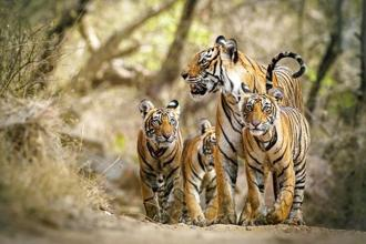 Tigers can breed rapidly if their natural habitats recover. Photo: Michael Vickers