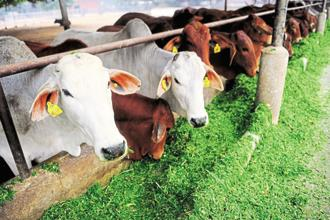 The research proposals on cow products follow a brainstorming workshop held at IIT Delhi on the subject, the ministry of science and technology informed the Lok Sabha on Wednesday. Photo: Pradeep Gaur/Mint