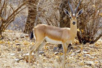 A 'chinkara' at the Ranthambore National Park. Photo: Wikimedia Commons.
