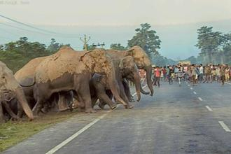 Shrinking forest corridors force elephants out in the open at Kestopur near Bagdogra. Photo: Anujit Basu,