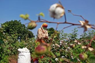 An estimated cotton produce of 2.81 million metric tonnes is expected to reach market yards in Telangana in 2017-18. Photo: Reuters