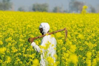 The Supreme Court is hearing a batch of pleas led by environmentalist Aruna Rodrigues, challenging the commercial rollout of GM mustard and open field trials, citing health risks. Photo: Hindustan Times