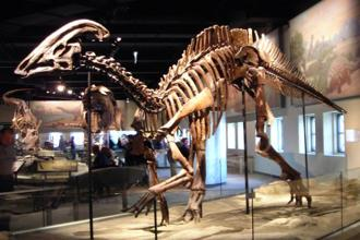 Duck-billed dinosaurs, also called hadrosaurs, earned their name because the front of their skull resembles a duck's bill. Photo: Courtesy Wikimedia Commons