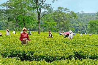 The bonus is going to cost an estimated Rs40 crore for owners of all the 87 tea estates combined. Photo: HT