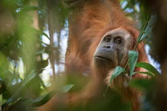 A photo of Pongo tapanuliensis, identified as a new species of orangutan is shown, found on the Indonesian island of Sumatra where a small population inhabit its Batag Toru forest, according to researchers. Photo: Reuters