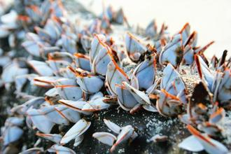 Goose-neck barnacles on North Cinque Island. Photographs by Pankaj Sekhsaria
