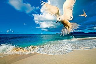 In the Seychelles, white terns are called angel or fairy terns for the way they hover in the air. Photo: Alamy