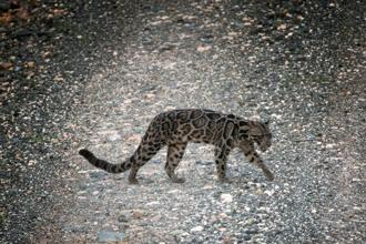A Bornean Clouded Leopard, found only on Borneo and Indonesia's Sumatra is seen in the Deramakot Forest Reserve in Malaysia's Sabah state, on 6 November. Photo: Reuters