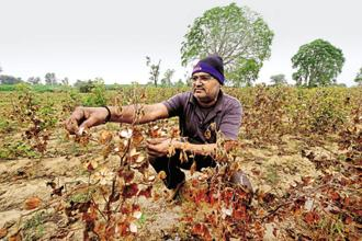 Madhavsinh Rataji, a farmer, at his ravaged cotton farm at Vanasan village in Patan district of Gujarat. Photo: Abhijit Bhatlekar/Mint