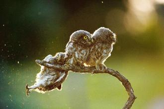 'Help!!!' Little owl nestlings in Ópusztaszer, Hungary. This photograph is part of a sequence of four that was the overall winner of the 2017 awards. Photo: Tibor Kercz/Hungary