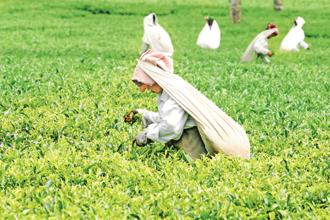Egypt bought 8.54 million kg of tea during this period, up from 3.4 million kg a year ago, the Board said. Photo: Mint