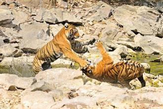 Two tigers near the Phoota Kot waterhole in the Ranthambhore National Park. Photo: Aditya Singh