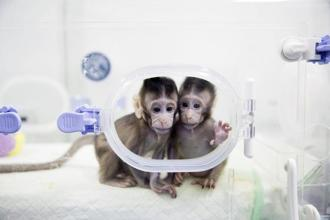 In this 22 January, 2018, photo released by China's Xinhua News Agency, cloned macaques Zhong Zhong and Hua Hua sit in a lab at research facility in China. Photo: PTI