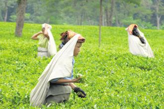 A file photo of a tea plantation. Photo: Indranil Bhoumik