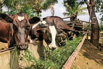 Oxytocin is a controversial hormonal injection that is used widely in the dairy industry, agriculture and horticulture. Photo: Abhijit Bhatlekar/Mint