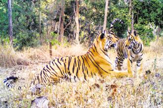 Tigers at the Pench tiger reserve. Photo: Pench Tiger Reserve