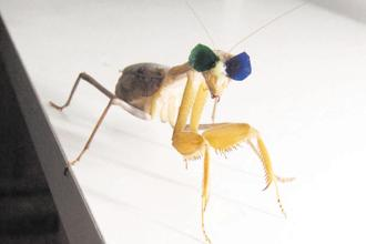 A praying mantis outfitted with shades for an experiment on how the brain reacts to 3D images.