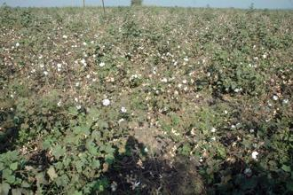 The move is likely to benefit nearly 8 million cotton growers in India. Photo: Mint