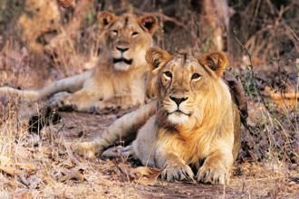 A recent unofficial count found more than 600 lions in the area, up from 523 in a 2015 census, Gujarat's chief minister Vijay Rupani said. Photo: iStock