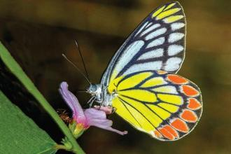 The bright yellows and oranges of the Indian Jezebel make the butterfly unattractive to predators but pleasing to the human eye.