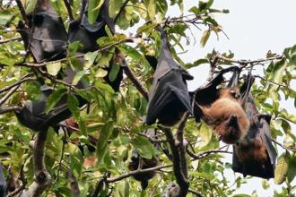 You can find bats on Janpath in Delhi. Photo: Rajlakshmi Mishra