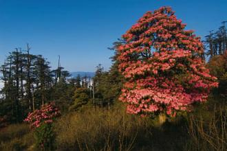 During spring (from mid-March to May), the rhododendrons bloom, transforming the Singalila National Park in West Bengal into a forest of pinks and reds.  Photographs by Dhritiman Mukherjee