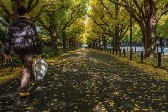 The ginkgo-tree lined Icho Namiki Avenue. Photo: Shutterstock