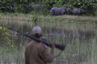A forest guard keeps vigil as one horned rhinos take shelter on a highland in the flood affected Pobitora wildlife sanctuary in Assam. The number of rhinos in the 38-sq-km reserve increased to 102 in 2018 from 93 during the last count in 1993. Photo: AP
