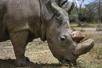 Ol Pejeta Conservancy said in a statement it had made the decision with wildlife officials and his previous carers to euthanise on Monday the 45-year-old rhino, named Sudan, due to the rapid deterioration in his condition. Photo: AP