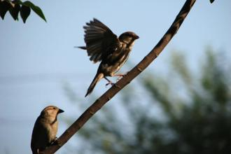 The humble house sparrow is considered important because ecologists see it as a sentinel. Photo: HT
