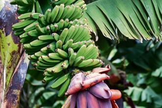 The purple inflorescence of the banana plant. Photo: iStockphoto