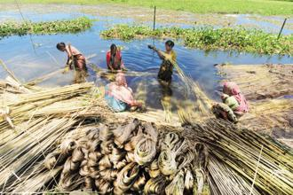 The decision would benefit jute farmers mainly in West Bengal, Assam and Bihar which account for 95% of the country's jute production. Photo: