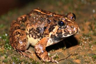 Goan fejervaryan, the new species of frog is named after the historical and cultural name of Goa.