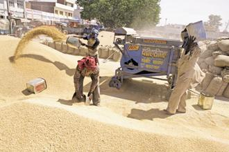Khanna Mandi in Ludhiana, Punjab. Import duty hike on wheat comes in the wake of record domestic production and fear of cheaper imports from international market, mainly from Russia where the production is expected to be better this year. Photo: Madhu Kapparath