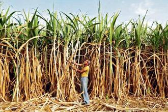 Representational image. The latest package comes as dues to sugarcane farmers crossed Rs20,000 crore in the 2017-18 season following a production glut.