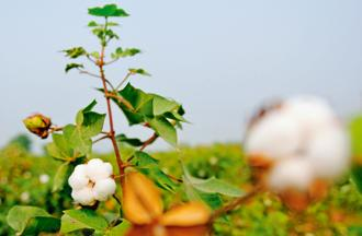 Prospects for cotton in India have slowed as repeated pest attacks despite planting hybrid varieties have discouraged growers. Photo: Bloomberg