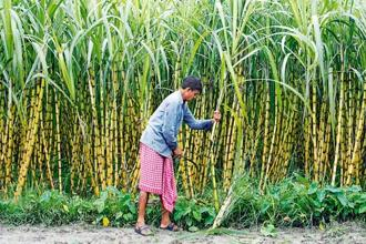 Sugarcane farmers form a politically influential group in Karnataka. Photo: Reuters.