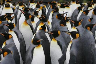 Known since the 1960s, the colony of king penguins on Ile aux Cochons island had the distinction of being the world's biggest colony of king penguins.