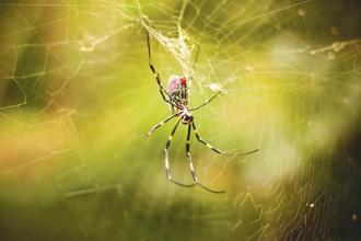 The silk strands pick up a negative charge as they leave a spider's body. The air around the spider is also negatively charged. These two negative charges repel each other and that's enough to lift the spider into the air. Photo: iStock
