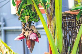 Different parts of the banana plant are consumed across India. Photo: iStock