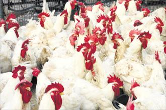 After delisting in 2015, Srinivasa Hatcheries transferred its poultry business to Srinivasa Farms and holds assets such as old farms whose value is increasing. Photo: HT
