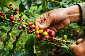 Coffee-picking at an estate in Coorg. Photo: iStock