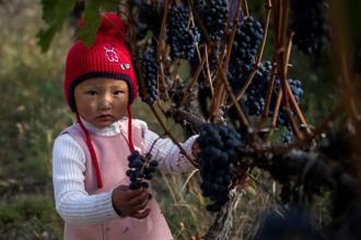 A child stands besides a grapevine while her mother (not pictured) harvests grapes at the Ao Yun vineyards, located beneath the Meili mountain in Adong, in southwestern China's Yunnan province. Photo: AFP